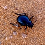 scarabée dunes merzouga