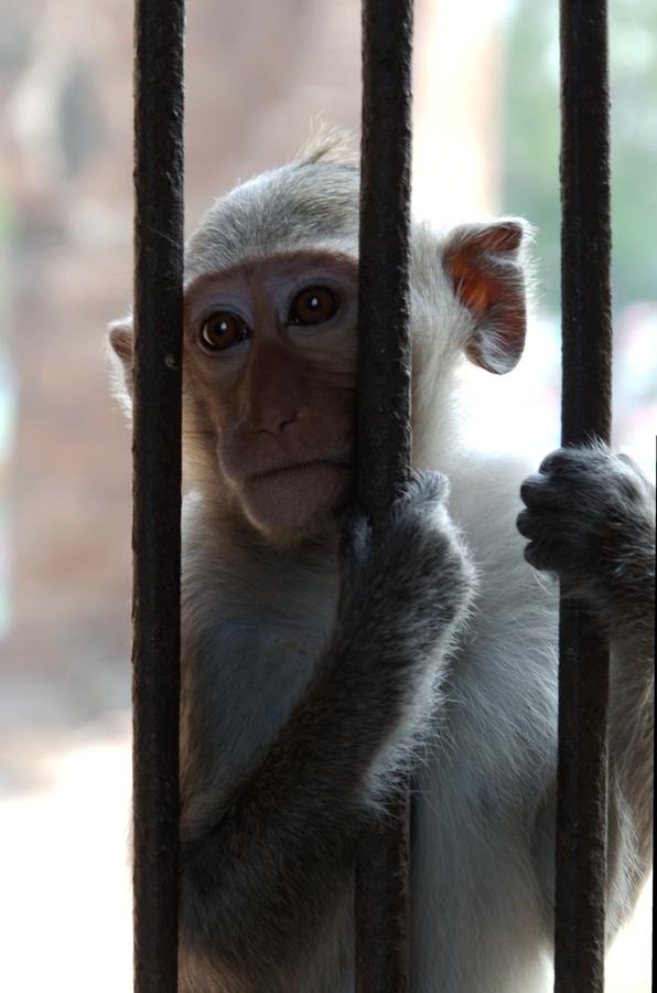 Photo #9: singe à Lopburi