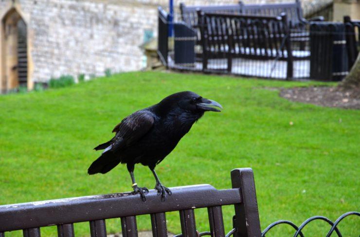 Corbeau à la Tour de Londres