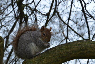 Ecureuil à Londres
