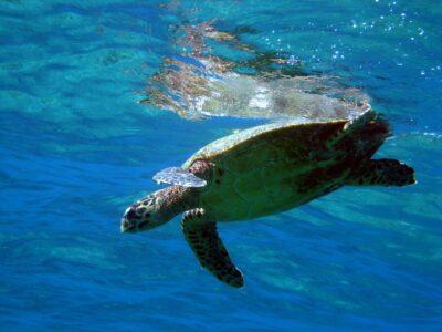 tortue koh similan snorkeling
