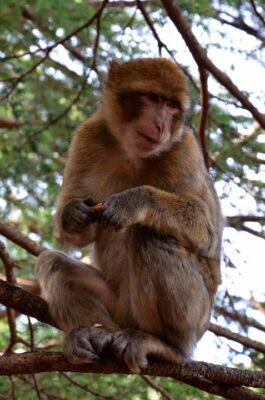 magot azrou maroc macaque