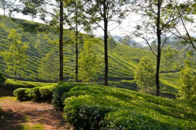 balade plantation thé munnar