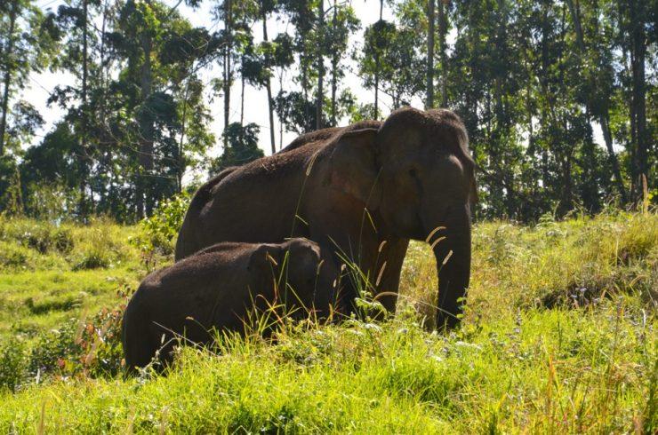 éléphant munnar inde