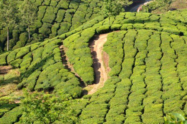 Munnar en Inde et ses plantations de thé