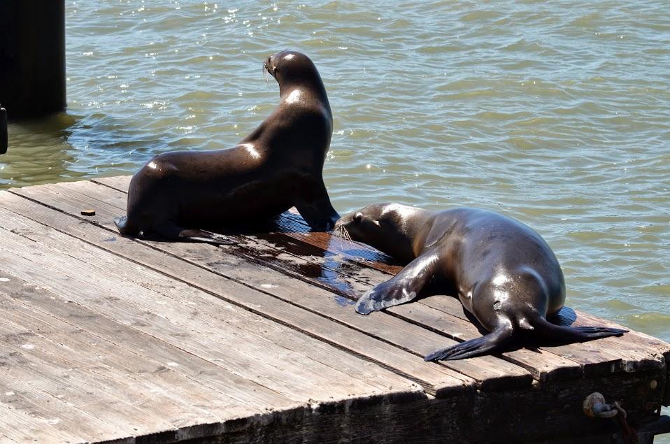 Lions de mer à Fisherman's Wharf - Pier 39