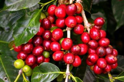 Red cherries, café de Kintamani