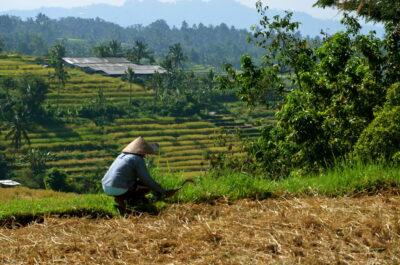 Homme dans les rizières de Jatiluwih à Bali