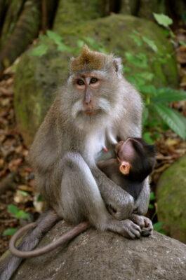 Singes dans la Monkey Forest d'Ubud à Bali