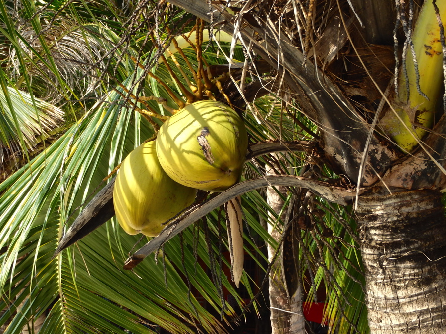 Coconuts - Perhentian Island