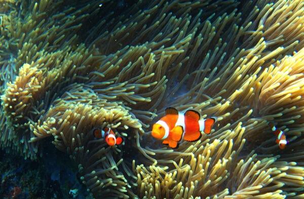 Nemo aux îles Perhentian