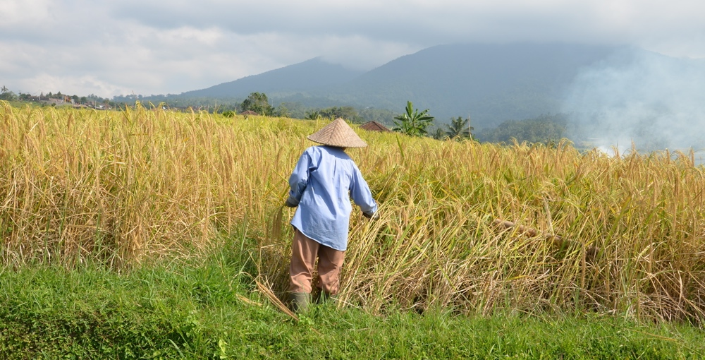 Jatiluwih à Bali