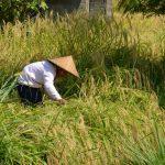 Fermier dans les rizières de Jatiluwih