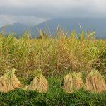 Récolte du riz à Bali