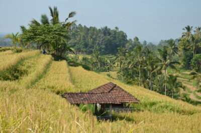 Ricefield at Jatiluwih