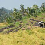 Rizière de Jatiluwih à Bali