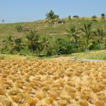 Séchage du riz à Bali
