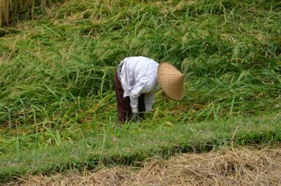 Travail dans les rizières de Jatiluwih