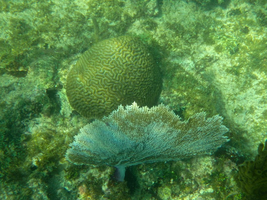 Coraux à Akumal