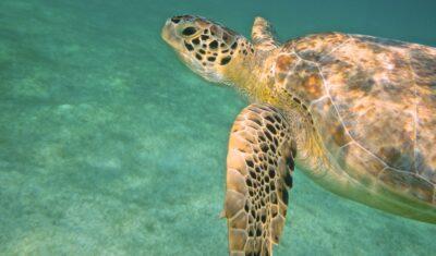 Nager avec des tortues