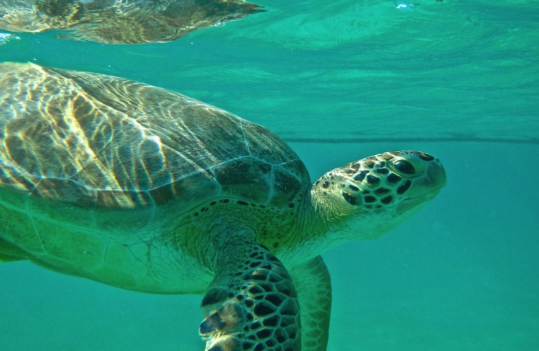 Nager avec des tortues à Akumal