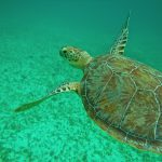 Snorkeling avec des tortues