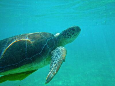Turtle - Akumal