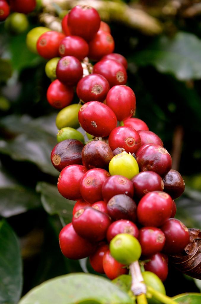 Caféier à Bali