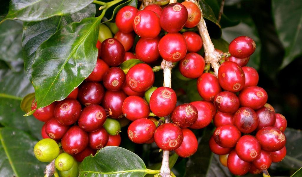 Plantation de café à Bali