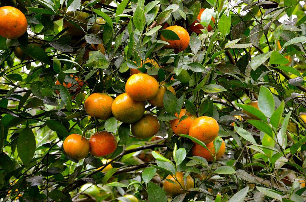 Oranges de Kintamani