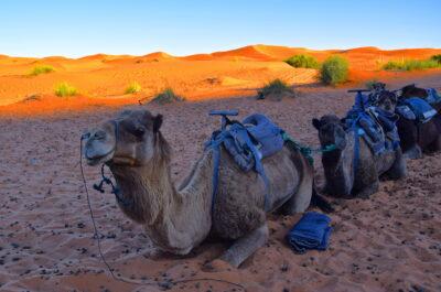 Dromadaires dans les dunes de Merzouga