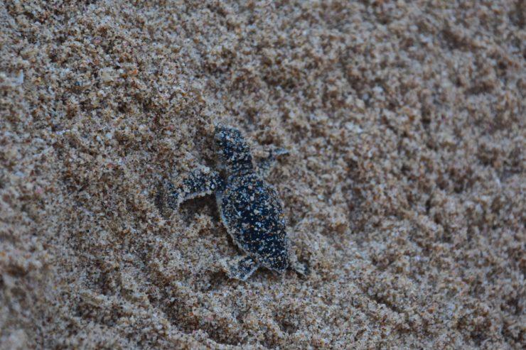 Bébé tortue à Ras al Jinz, Oman