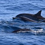 Dauphins en mer, au large de Mascate