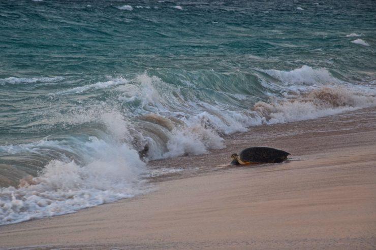 Tortue sur la plage de Ras al Jinz à Oman