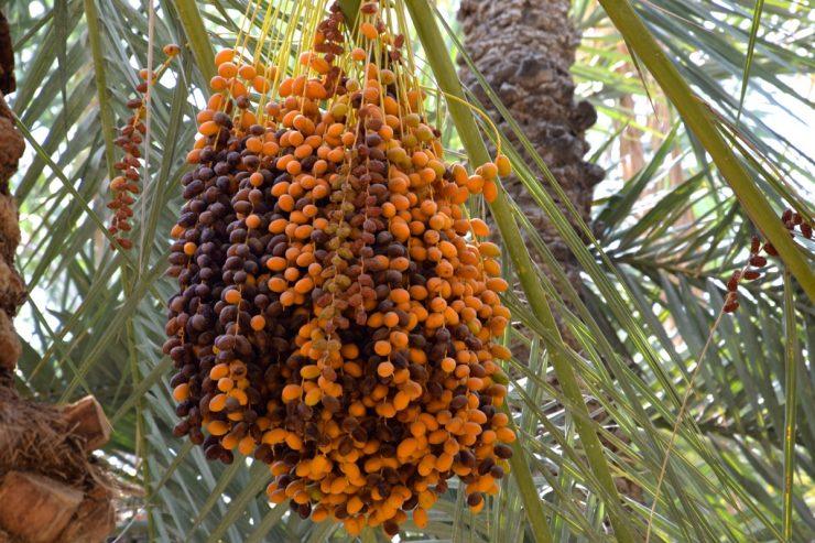 Dattes dans l'oasis d'Al Aïn
