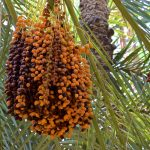 Dattes sur un palmier dattier