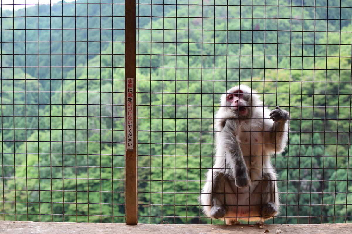 Monkey à Arashiyama