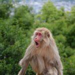 Singe à Arashiyama