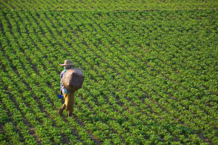 Travail agricole en Birmanie