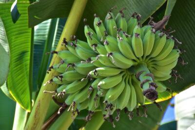 Bananier sur l'île de la Licorne