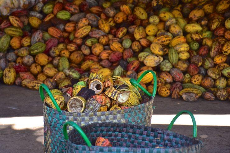 Récolte du cacao dans le delta du Mékong