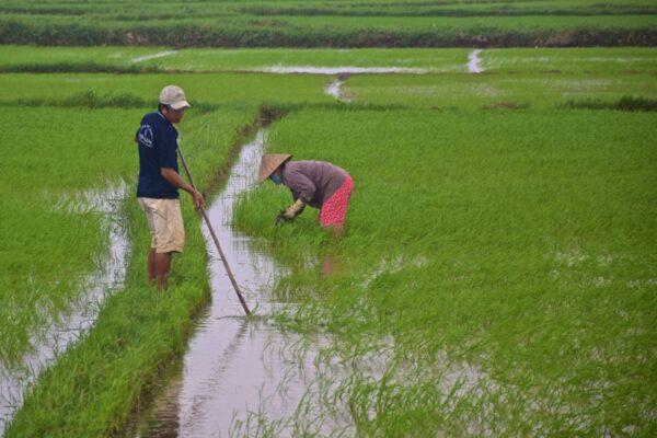Rizière à Tra Que près de Hoi An