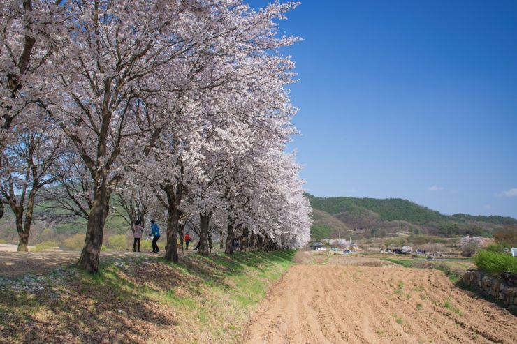 Cherry blossom à Hahoe