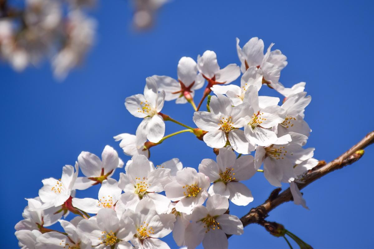 Cherry blossom à Séoul