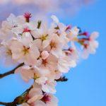 Cerisier en fleur à Hahoe