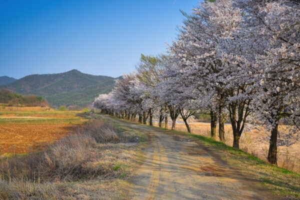 Cherry blossom à Hahoe