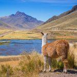 Alpaca au Pérou