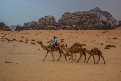 Dromadaires dans le Wadi Rum