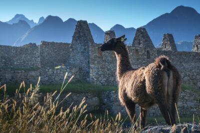 Lama à Machu Picchu