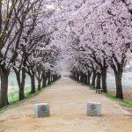 Allée de cerisiers en fleur à Hahoe